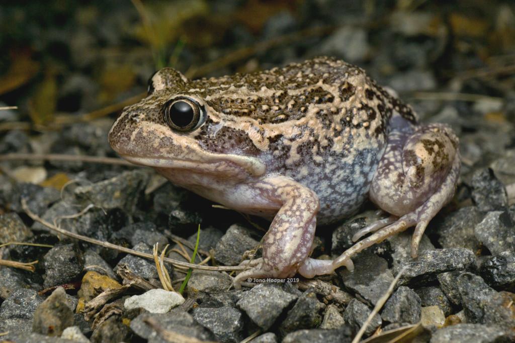 Eastern Bango Frog (Limnodynastes dumerilii insularis)