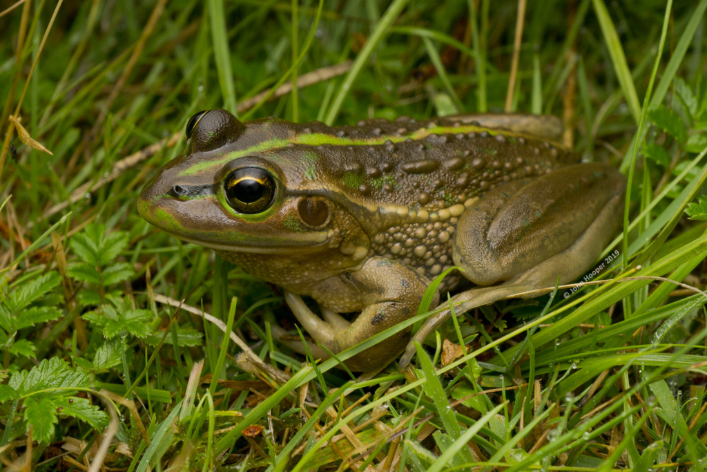 Southern Bell Frog (Litoria raniformis)