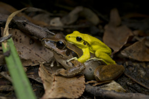 Stony-creek Frogs in amplexus