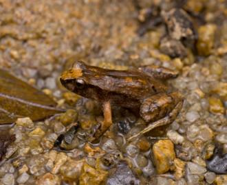 The Eungella Tinkerfrog (Taudactylus eungellensis)