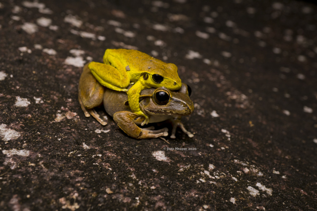 A pair of Stony-creek Frogs (Litoria wilcoxii) in amplexus