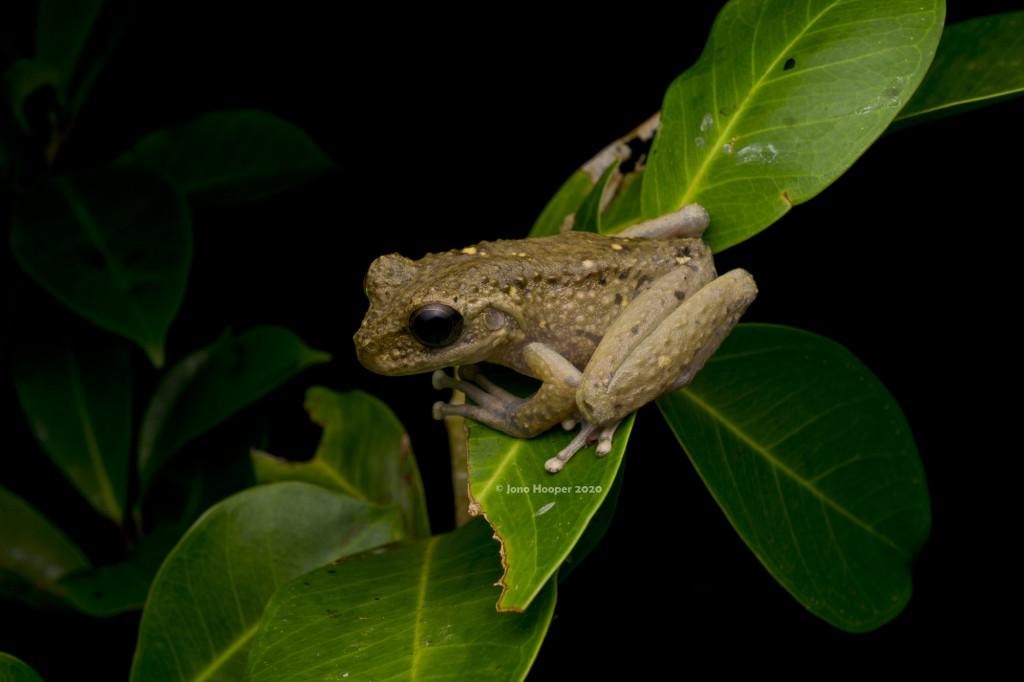 Melville Range Treefrog (Litoria andiirmalin)