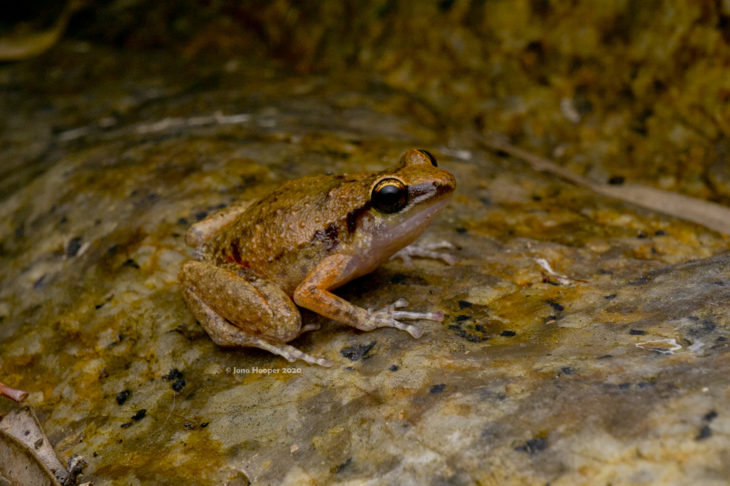 Cape Melville Boulder Frog (Cophixalus zwiefeli)