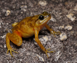 Black Mountain Boulder Frog (female) (Cophixalus saxatilus)
