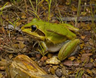 Northern Snapping Frog (Cyclorana australis)