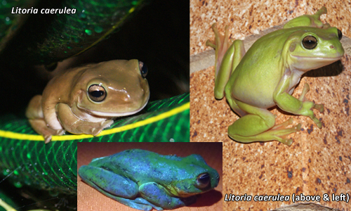 Differences in Litoria caerulea frogs