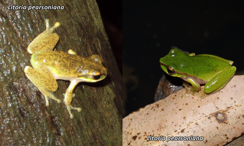 Differences in Litoria pearsoniana frogs